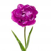 Lilac Double Peony Tulip Isolated On White