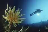 Underwater shoot of a female scuba diver swimming by coral reef and feather star