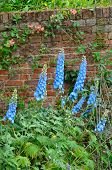 Blue Delphiniums in Garden