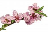 Cherry Plum Branch With Spring Pink Blossom Isolated On White