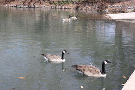 picture of honkers  - Canadian geese swimming towards there food ready to eat it - JPG