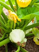 Pattypan Squash Growing On Vegetable Bed. Custard Marrow - A Plant Belonging To The Genus Cucurbita