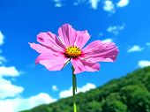 pink summer flower on a mountain with beautiful sky