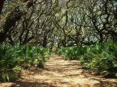 Cumberland Island Oaks