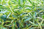 Green Vegetative Background (reed Canarygrass)
