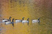 Five Canada Geese Swimming On Golden Water Of Autumn
