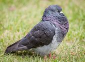 Male Feral Pigeon Sleeping