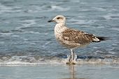 Young Lesser Black-backed Gull (larus Fuscus)