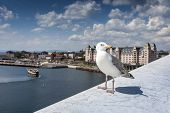 stock photo of mew  - Seagull on opera house in Oslo Norway - JPG