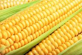 foto of corn  - corn cob between green leaves for you design - JPG