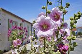 foto of hollyhock  - Hollyhock in an empty street in a village on Ile d