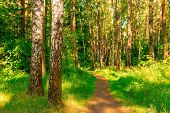 Summer Forest With Birches. The Path Stretches Deep Into The Forest