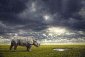 picture of drought  - Rhino looking for water under the rain after drought at dramatic sunset in savanna - JPG