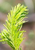 Green Pineapple Branch
