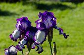 Closeup Of Dewy Multicolor Iris Flower