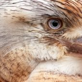 picture of blue winged kookaburra  - Detail of the eye of a Blue Winged Kookabura - JPG
