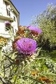 Flower Of Cardus