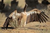 White-backed vulture (Gyps africanus) sitting with open wings on the ground, South Africa