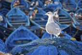 Blue fishing boats and seagull in Essaouira port, Atlantic coast, Morocco, Africa