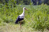 White Stork Ciconia In Green Grass