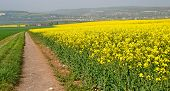 Rapeseed Feild In Bloom