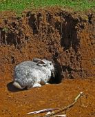 foto of rabbit hole  - Rabbit outside its hole in Chiapas Mexico - JPG