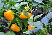 Yellow peppers in the greenhouse