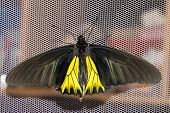 Open Wings Of Male Common Birdwing Butterfly