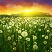 Dandelion field and bright colorful sunset.