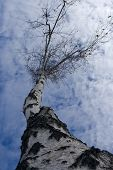 The birch tree against of the sky