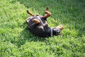 stock photo of doberman pinscher  - Mean Doberman Pinscher rolling around on the lawn.