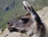 Llama Portrait At Machu Picchu