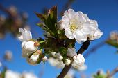 blossoming brunch over blue sky