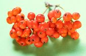 Red Ashberry Bunch