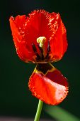 Tulip On Blured Background