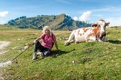 Woman Hiker With Cow
