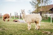 pic of alpaca  - Fluffy white alpaca standing in a ranch - JPG