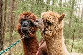 picture of alpaca  - Two fluffy brown alpacas in a forest - JPG