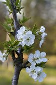 picture of bing  - These are the spring blooms of a bing cherry tree - JPG