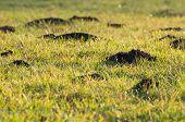 Mole Hills In The Grass