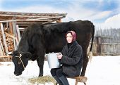 woman with  bucket milking near cow