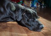 Tired Black Great Dane