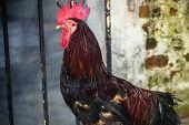 Un gallo y casa vieja
