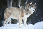 Wolf standing in the cold winter forest