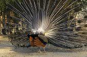 Displaying Indian peacock