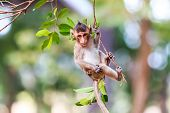 Little Monkey (crab-eating Macaque) On Tree In Thailand