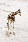 One Rothschild's Giraffe