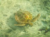 picture of french polynesia  - A turtle swimming underwater off the beach of Moorea French Polynesia - JPG