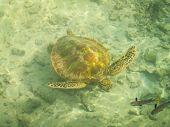 Moorea Turtle And Fish