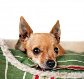 a tiny chihuahua on a pet bed white isolated background